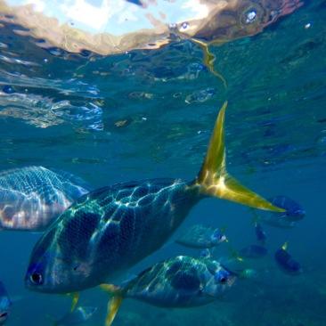 Snorkeling in the Whitsundays in Australia.